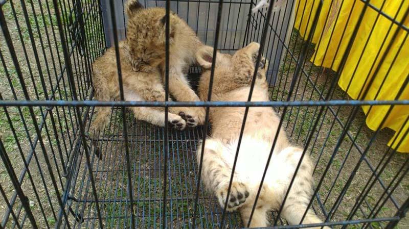Polisi Gagalkan Penyelundupan Bayi Singa dan Leopard