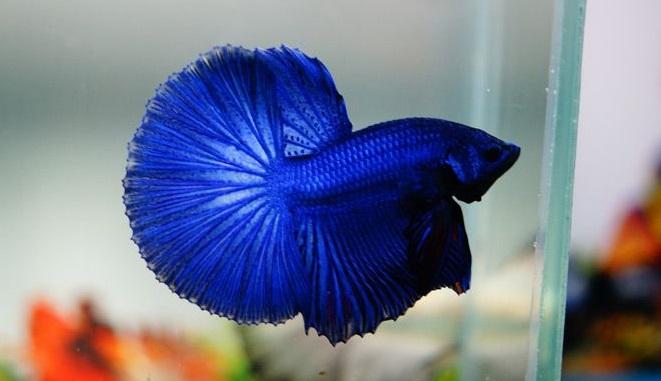 Ikan Cupang Blue Betta - Ikanhiasku.net