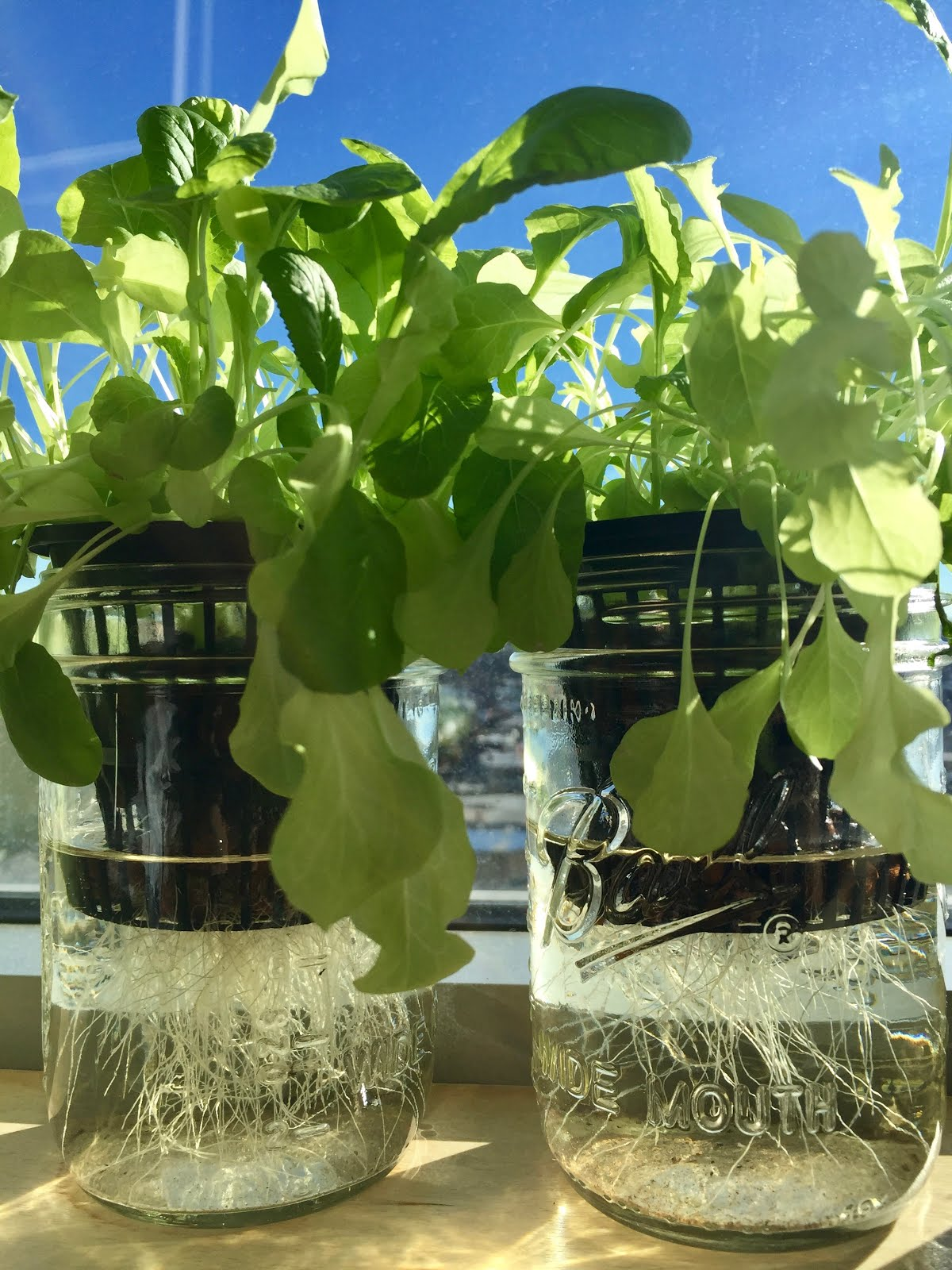 Pawat's Blog: Hydroponic Experiment: Kratky Method