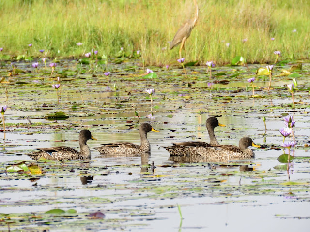 Yellow-billed ducks on Mabamba Swamp in Uganda