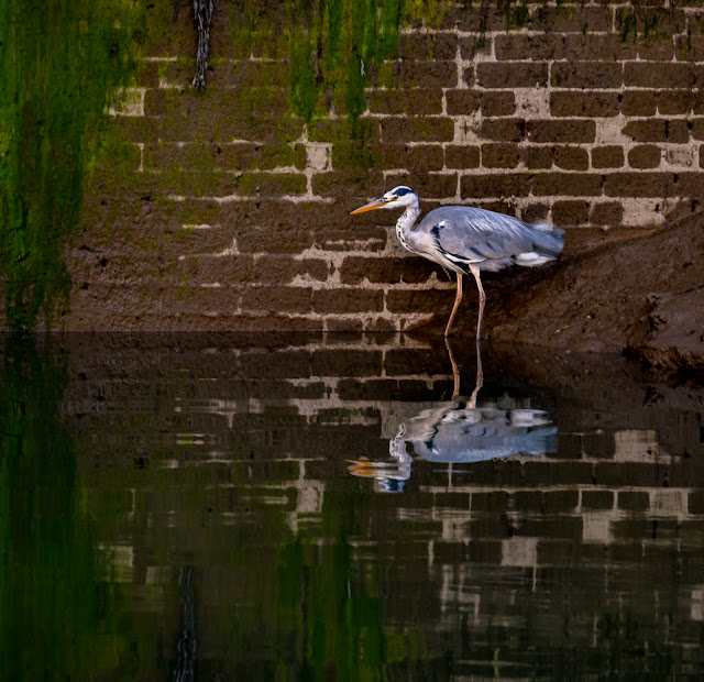 Photo of the larger heron fishing in the marina
