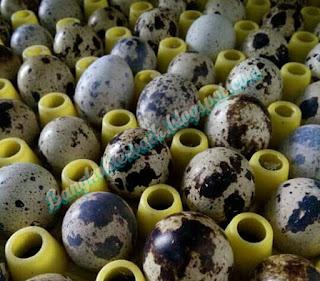 Manfaat pemberian telur puyuh pada ayam aduan