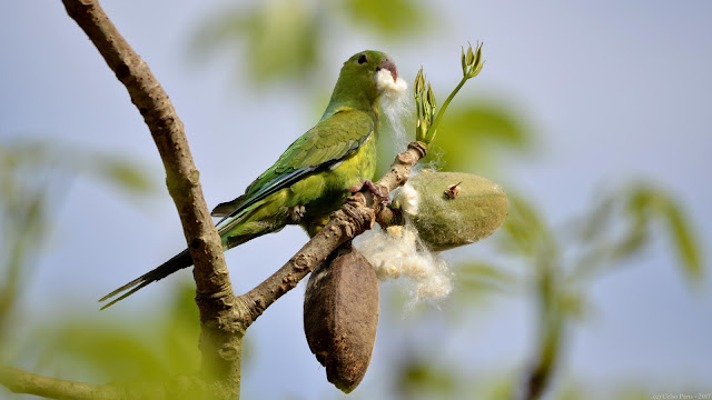 Plain Parakeet Brotogeris tirica Periquito-rico Catita Tirica