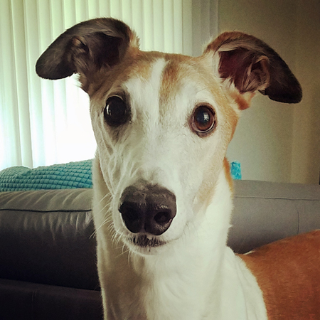 image of Dudley the Greyhound looking at me with wide, plaintive eyes