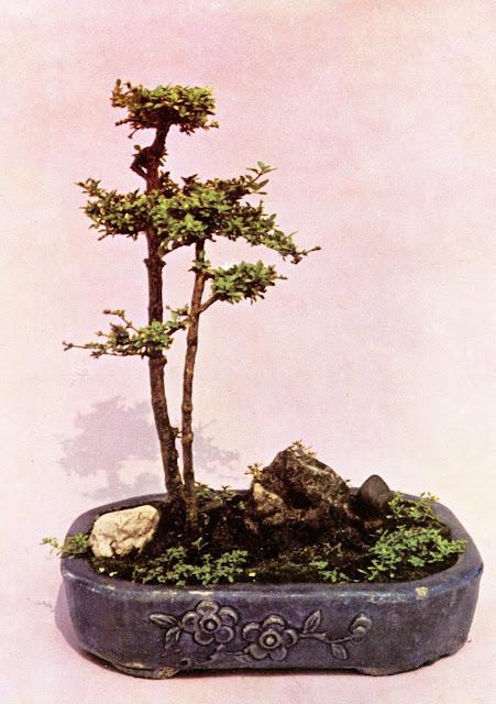 Solitude a Deux - карликовые деревья Вьетнама - старая открытка