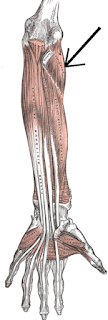 supinator muscles- by  www.learningwayeasy.com