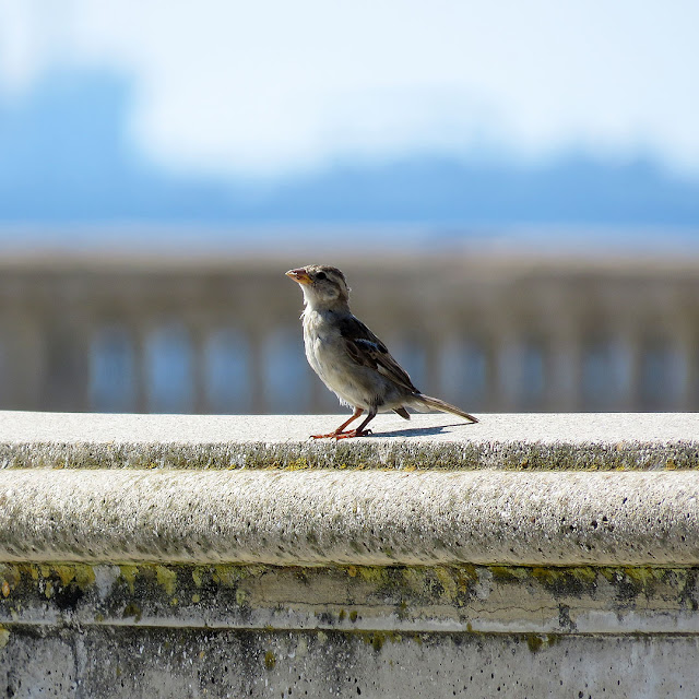 Sparrow, Terrazza Mascagni, Livorno