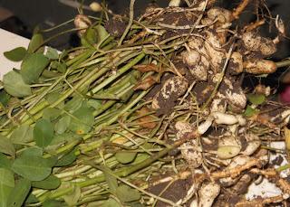 Peanut plants in Junagadh district of Gujarat