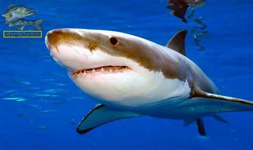 أنواع أسماك البحر الأحمر _ سمك القرش