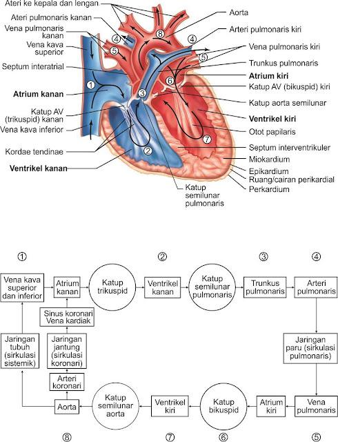 Jantung terletak dalam rongga mediastinum rongga dada, yaitu diantara paru-paru. Posisi jantung miring sehingga bagian ujungnya yang runcing (apex) menunjuk ke arah bawah ke pelvis kiri, sedangkan ujungnya yang lebar yaitu bagian dasarnya, menghadap ke atas bahu kanan. Jantung terdiri dari dua lapisan yaitu; (1) lapisan dalam atau perikardium viseral, dan (2) lapisan luar (perikardium parietal)
