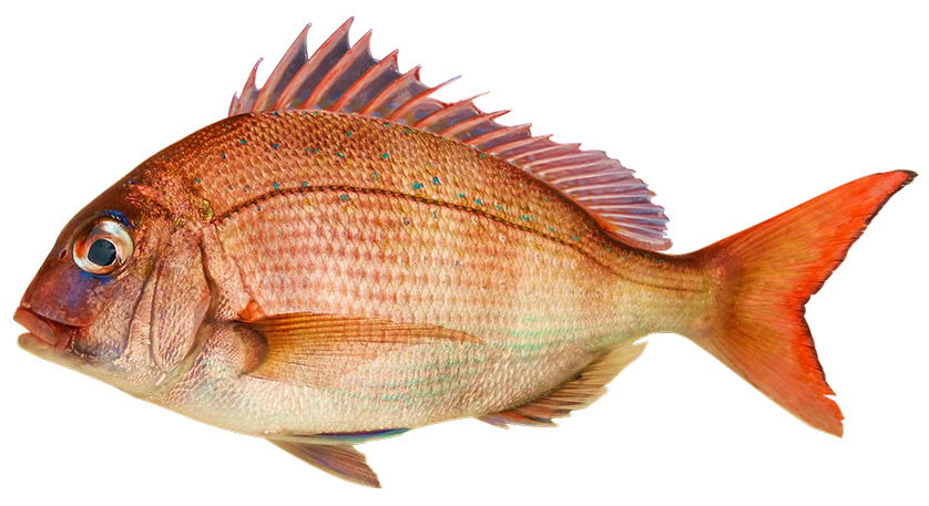 Snapper, arguably New Zealand's best-tasting fish.