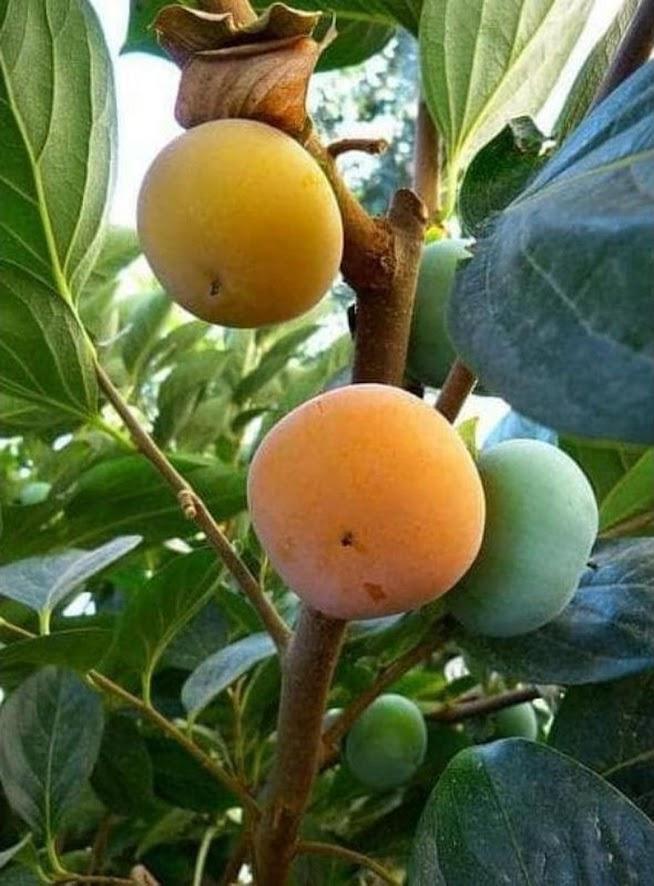 bibit buah kesemek cangkok Sulawesi Tenggara