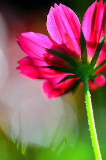 cosmos flowers and bokeh