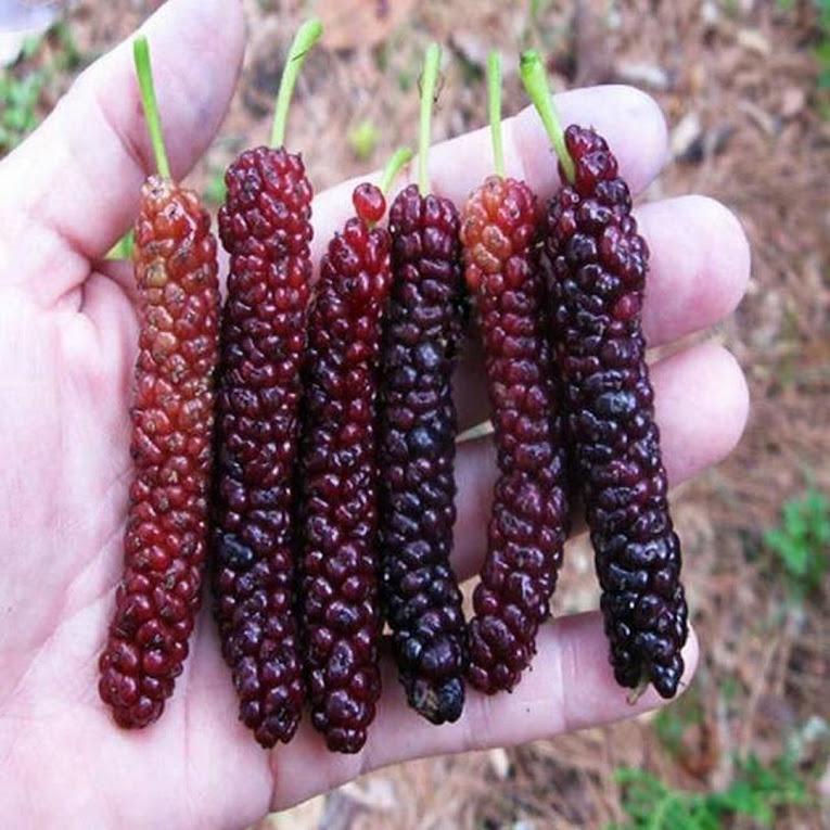 bibit long murbei benih pohon tanaman buah okulasi super bisa untuk tabulampot taman Sorong