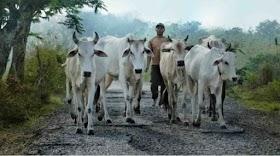 Memasuki Musim Tanam, Pemdes Tantan Himbau warga Jaga Ternak agar tidak merusak Tanaman Padi