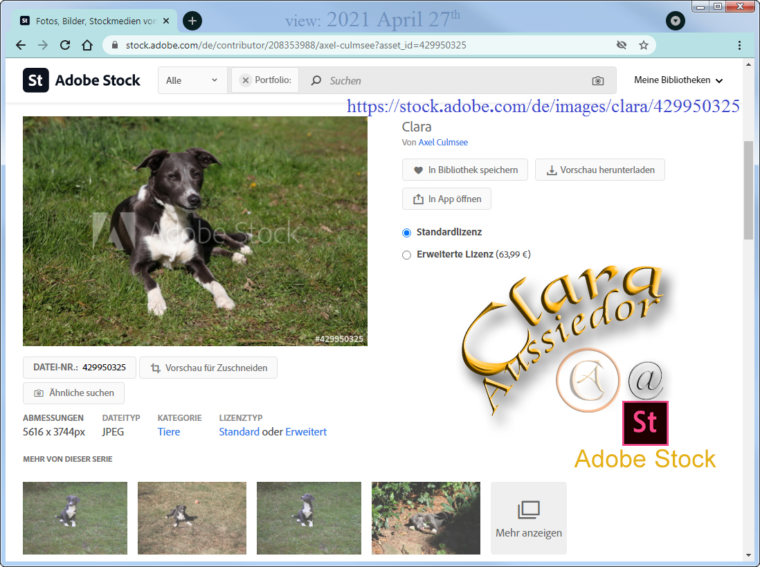 Clara Aussiedor at Adobe Stock available via searching for Australian Shepherd hybrid (nearly 11 months)