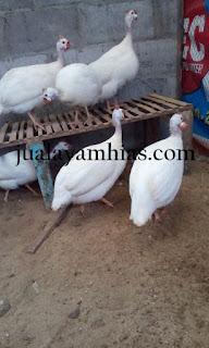 Ayam Mutiara Putih Dewasa