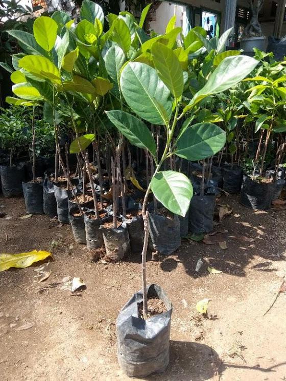 bibit buah nangkadak super asli persilangan nangka dan cempedak Denpasar