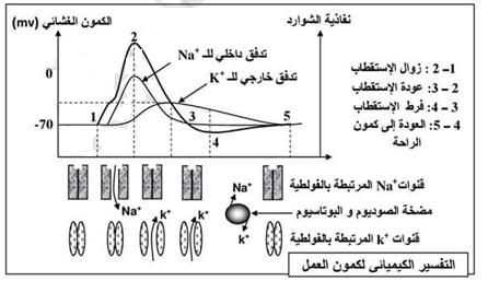 التفسير الكيميائي لكمون العمل