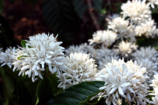 Central Highlands region whitened by coffee flowers 3