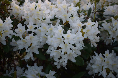 Rhododendron 'Cunningham´s White'