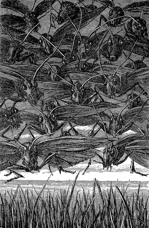 a Léon Becker illustration 1888, locust plague