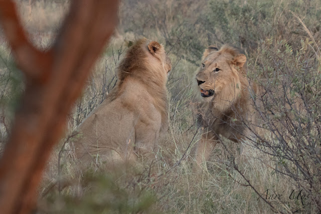 Two Young Male Lions having a brotherly encounter, Black Rhino Lodge