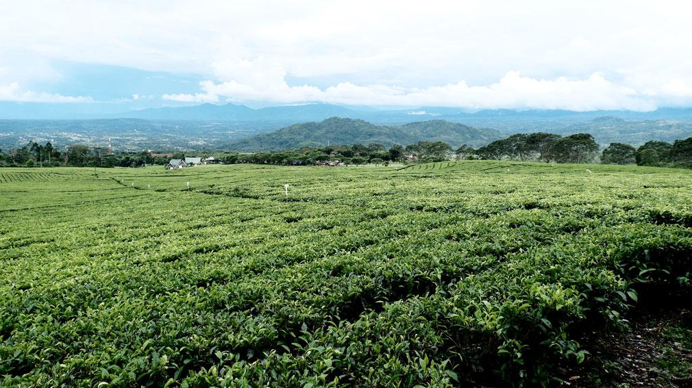 Kebun teh Pagar Alam