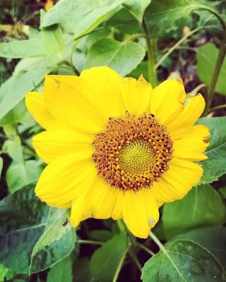 Pieni auringonkukka