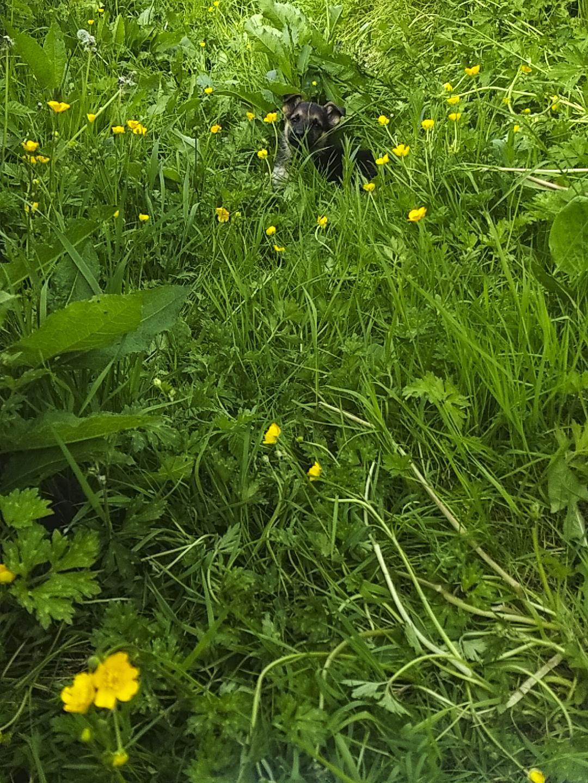 A German Shepherd 6 week old puppy peeking over long grass.