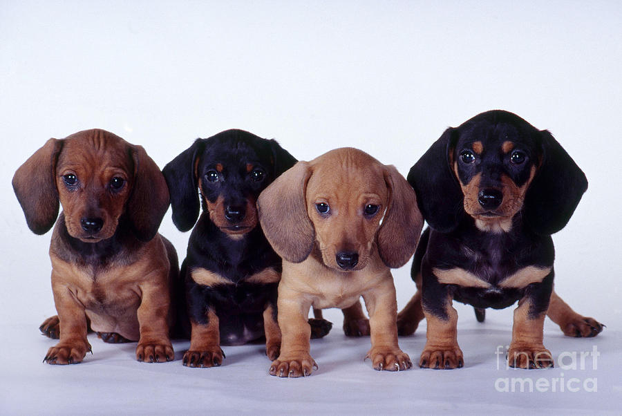 Cute Yorkshire Terrier Puppies Wallpaper Cute Puppy Dogs Dachshund Puppies