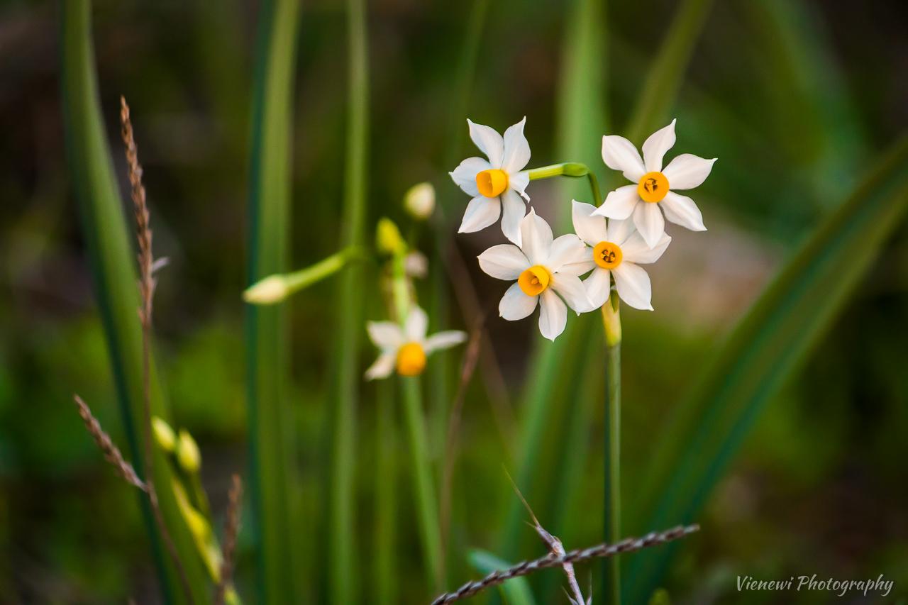 Białe, drobne dzikie narcyzy z żółtym środkiem rosnące w gęstej trawie.
