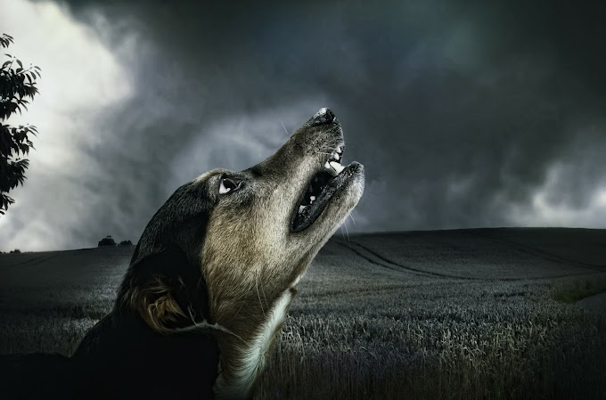 Dog Howling and Crying | Reasons of Dog Howling and Crying |
