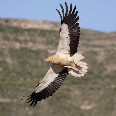 صورة نسر - صور طيور رائعة