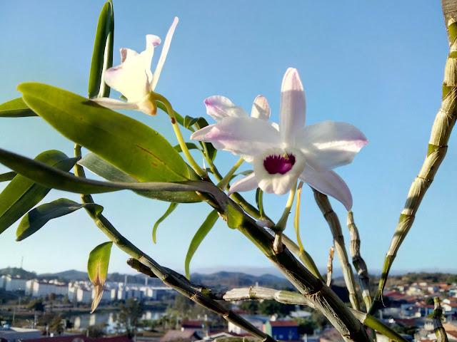 Orquídea olho de boneca, em tons de rosa e púrpura