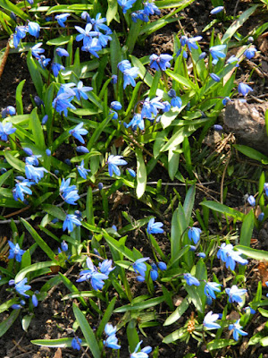 Siberian squill Scilla siberica Toronto Etobicoke spring garden cleanup Paul Jung Gardening Services