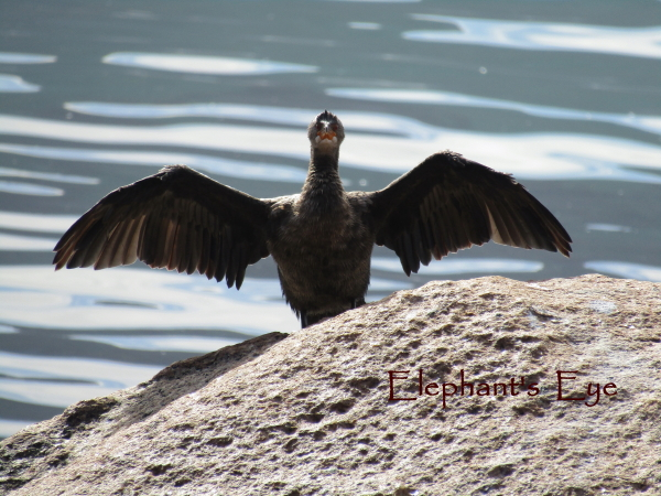 Cormorant thawing out