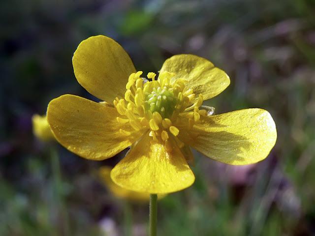 Лютик крупный / Лютик большой / Лютик японский (Ranunculus grandis, =Ranunculus japonicus)