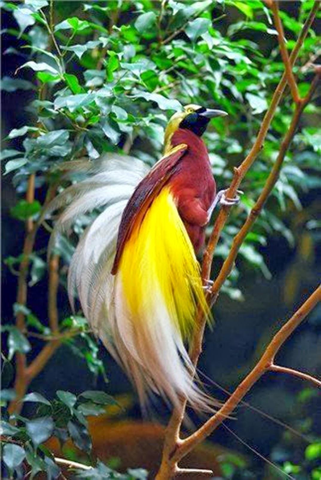 4300 Gambar Burung Cendrawasih Mewarnai HD Terbaru