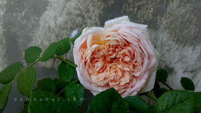 Abraham Darby rose second... or third bloom 2018
