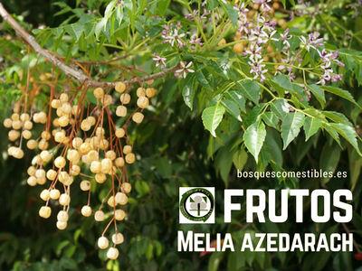 Melia azederach o Cinamomo, los frutos son venenosos si se toman en cierta cantidad.