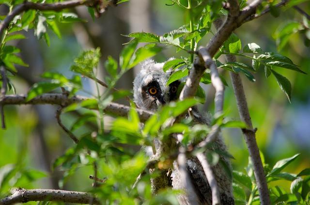 Wah Ini Dia Harga Burung Hantu Celepuk Yang Murah Dan Juga Banyak Di Minati