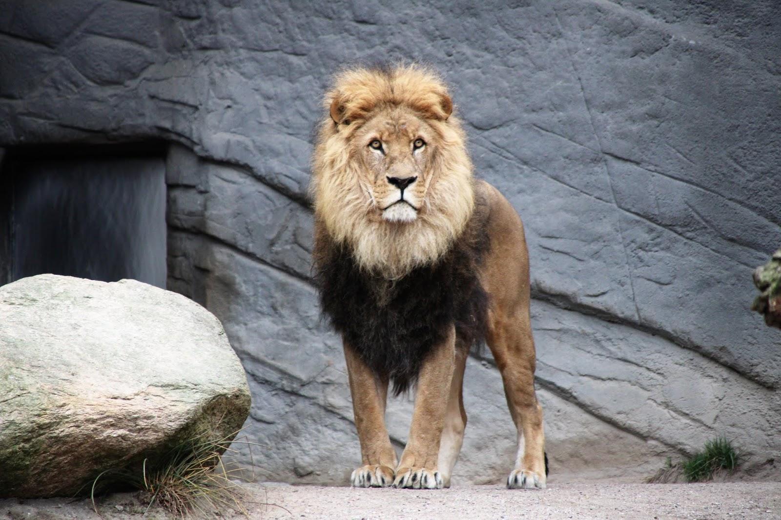 brown lion,lion images