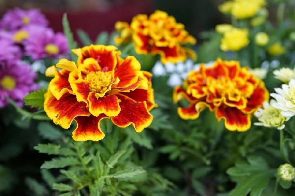 Bunga marigold
