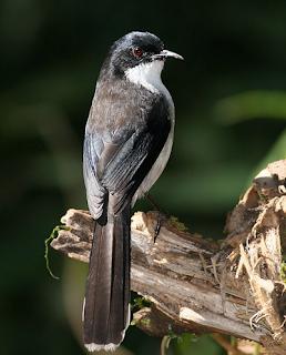 Burung Sibia Kepala Hitam, Kerabat Murai Air