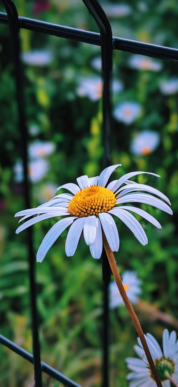 daisy aesthetic
