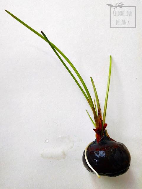 Ponikło słodkie (Eleocharis dulcis), ponikło bulwiaste, chiński kasztan wodny, kasztanowiec wodny - uprawa, ukorzenianie, jak ukorzenić bulwy, bulwki, bulwocebule kasztana wodnego? Jak uprawiać kasztany wodne? Gdzie kupić? Co to za roślina? Jadalne turzyce, cibory. Azjatyckie warzywa, ciekawe rośliny jadalne. Jak smakuje water chestnut? Jak jeść? Skąd pochodzi? Jak rośnie? Jak pielęgnować? Czy da się uprawiać kasztany wodne w Polsce? Hydroponika, rośliny wodne, które można zjeść.