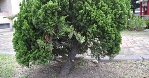 Ciri Ciri Pohon Cemara Sinensis