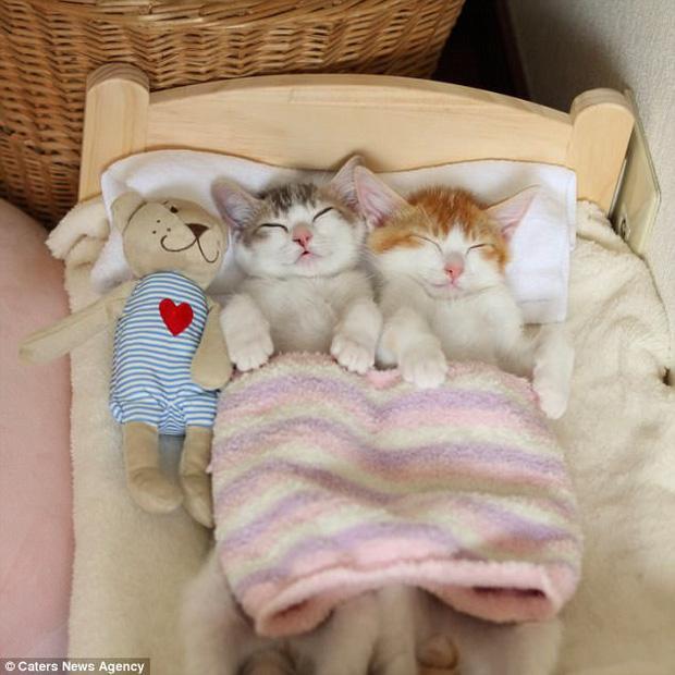 Hai em mèo đáng yêu phải lên giường đắp chăn ngủ cạnh nhau mới chịu