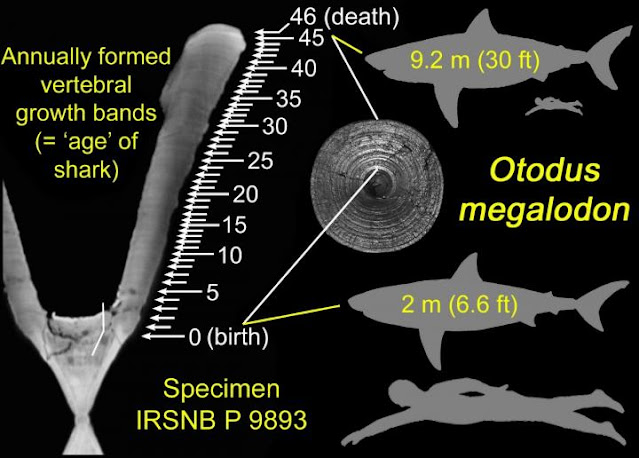 Did Megalodon Shark Babies, Larger than Adult Humans,  Eat Their Sibling in the Womb